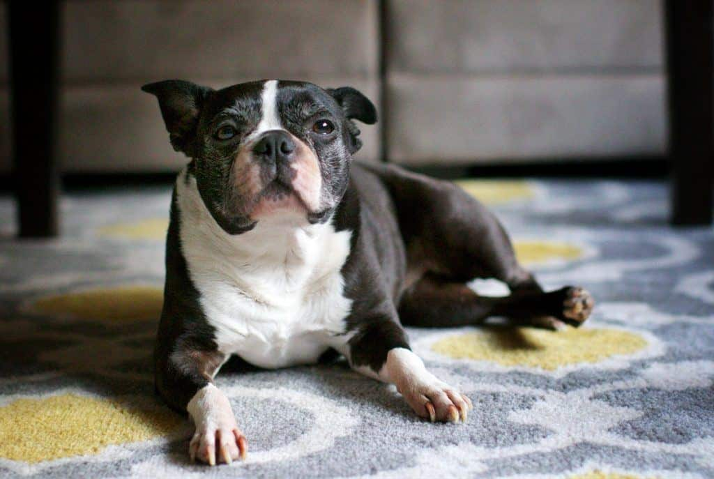 cute_boston_terrier
