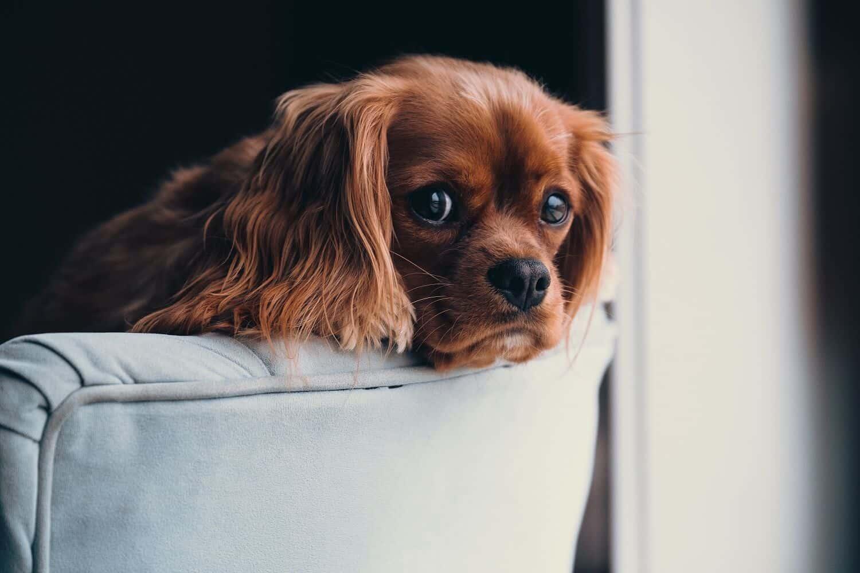 Dog resting its head on a sofa