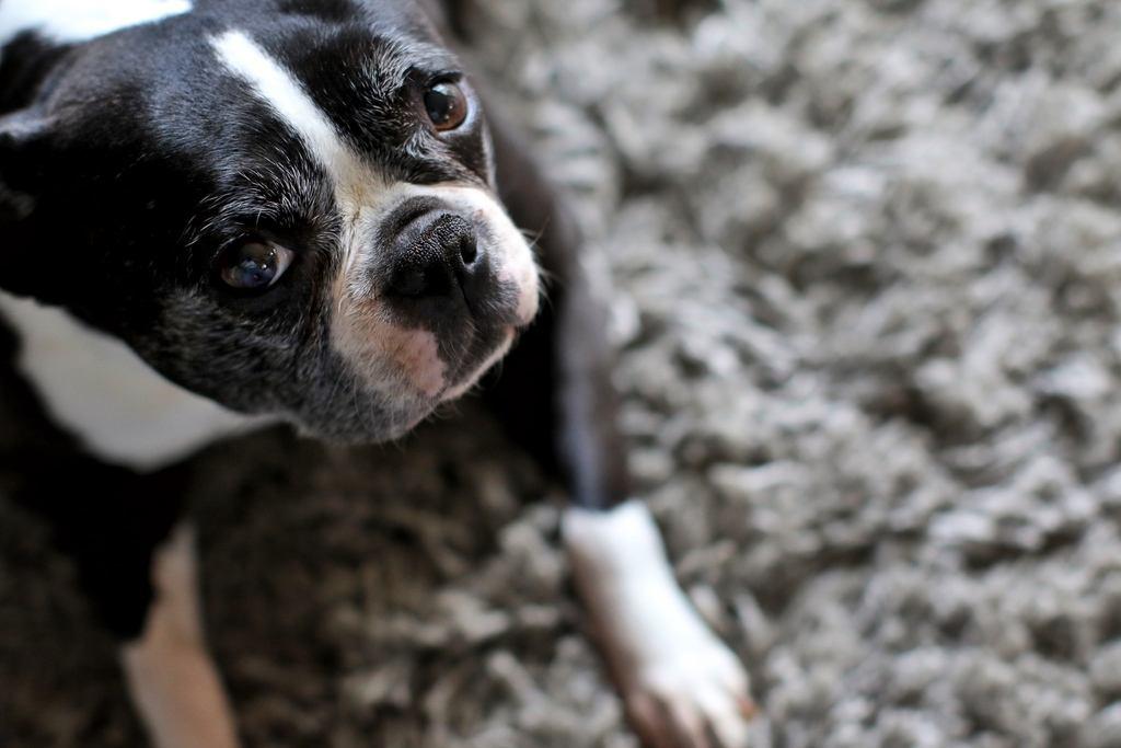 cute dog on shaggy rug