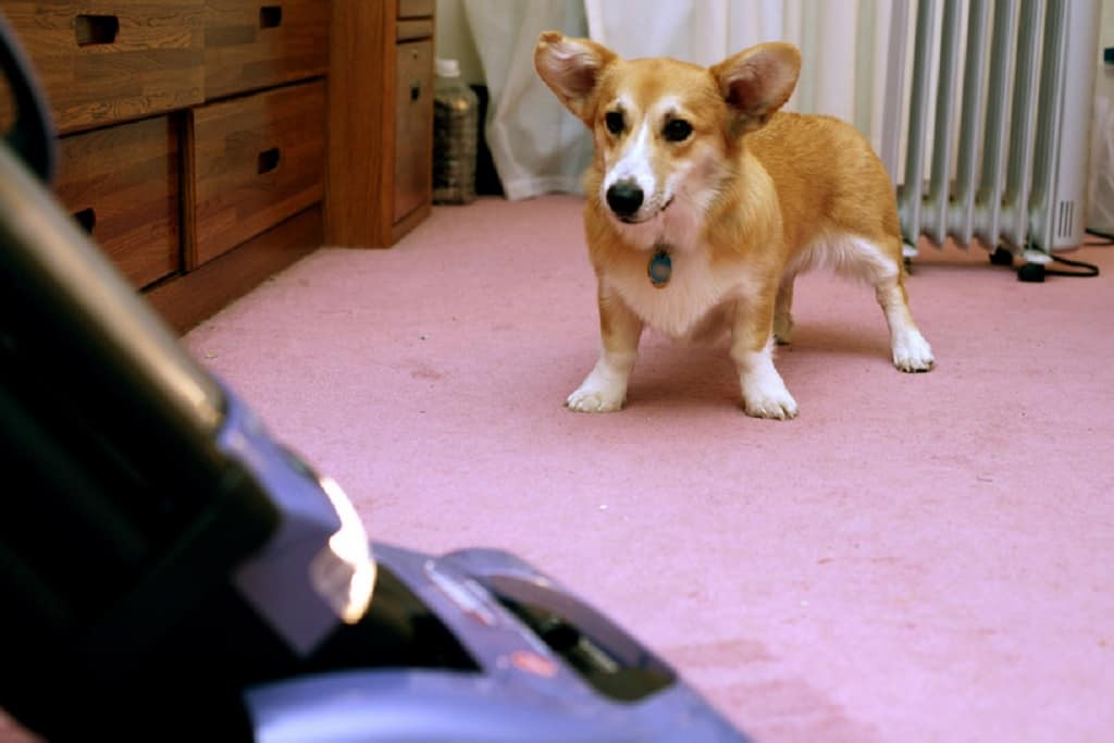 Corgi dog standing on top of pink carpet staring at a vacuum cleaner