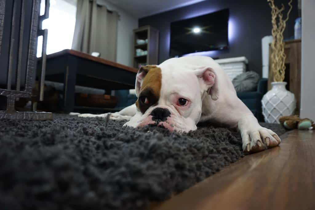 Cute english bulldog laying on top of a shag carpet on brown laminate floors