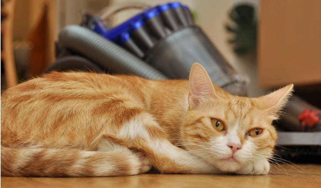 Yellow cat sleeps beside a vacuum cleaner