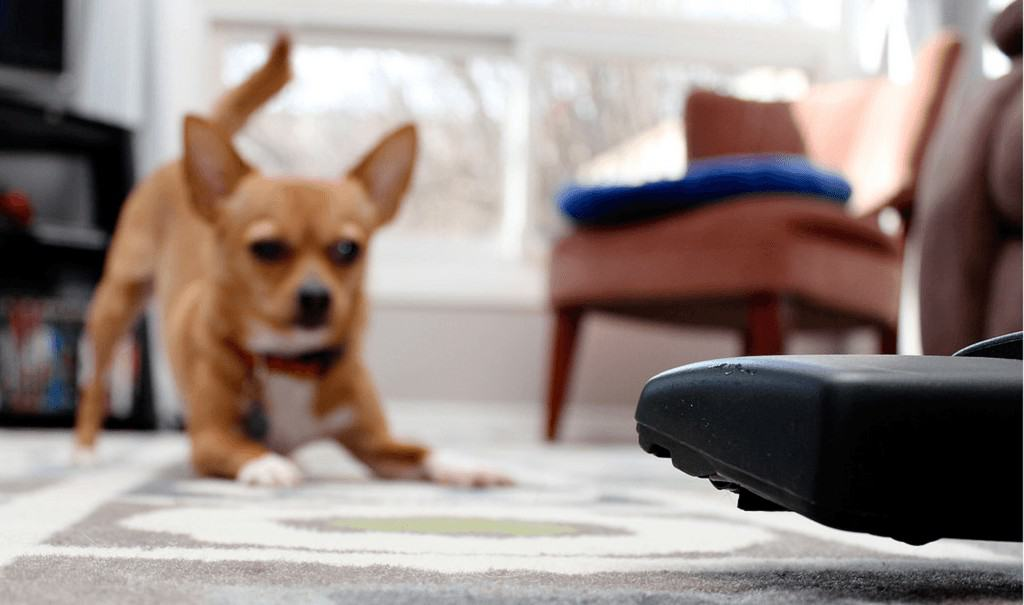 Small brown dog frightened by a vacuum cleaner at home