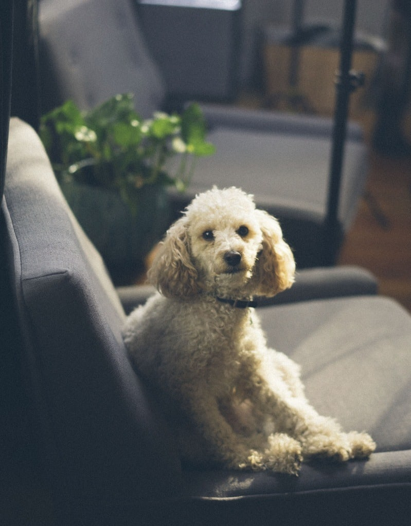 Dog sits on chair in the living room