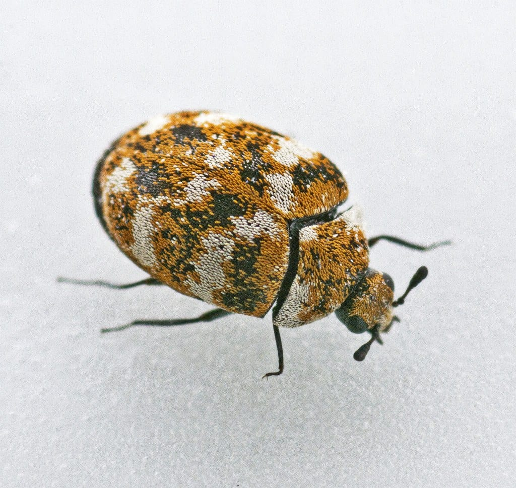 Close up of varied carpet beetle