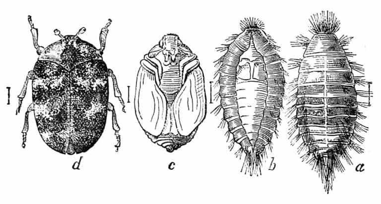 Illustrations of different types of carpet beetles