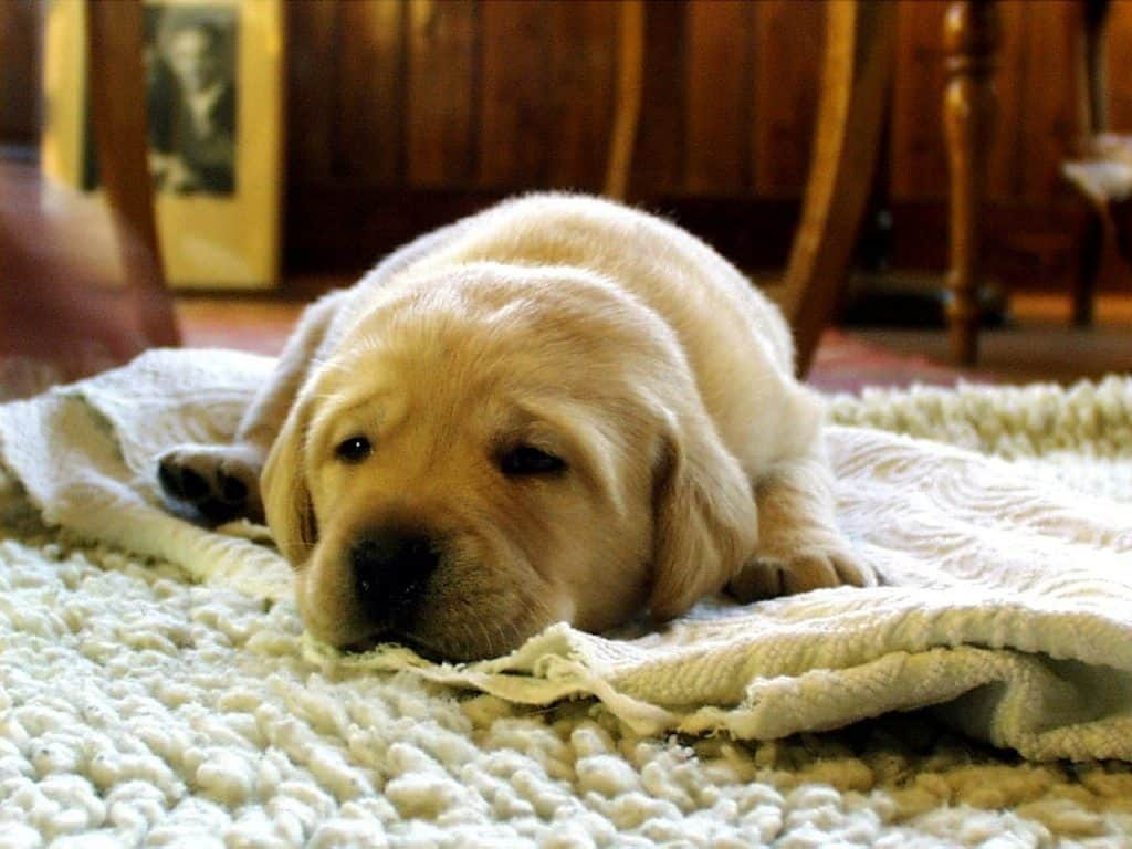 Dog resting on the carpet