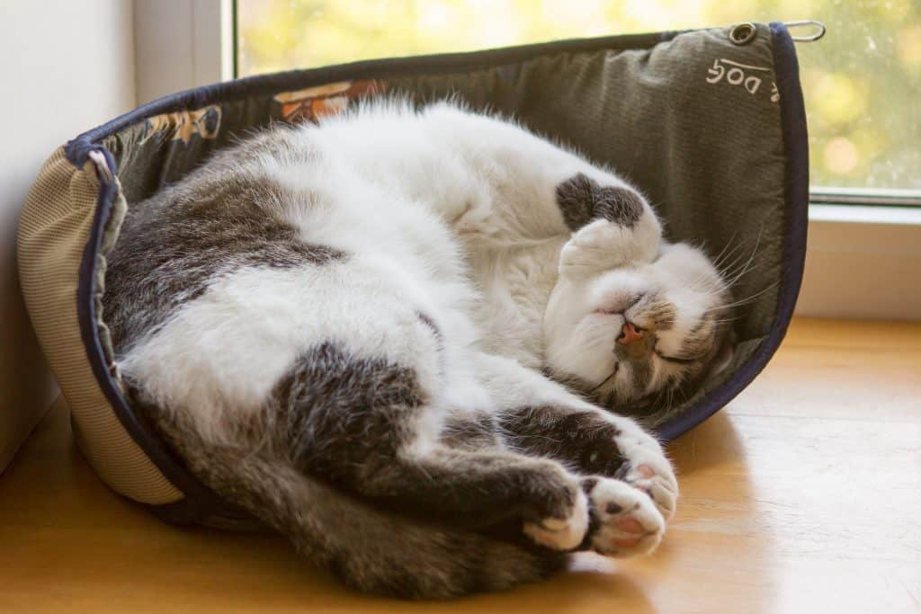 Cat in a sleeping position